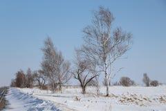 Pinos en una arboleda/árboles del abedul contra un cielo azul/ Imagen de archivo libre de regalías