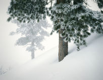 Pinos frescos de la nieve del paisaje de la montaña del invierno Fotografía de archivo