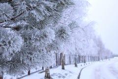 Pinos geados do gelo em árvores Imagem de Stock Royalty Free