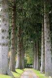 Pinos hermosos y camino hoja-derramado Fotos de archivo