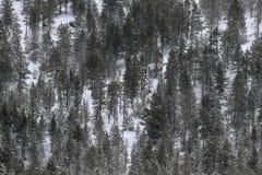 Pinos nevados Foto de archivo libre de regalías