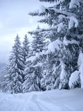 Pinos nevados Imagen de archivo