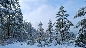 Pinos nevados de Tahoe fotografía de archivo