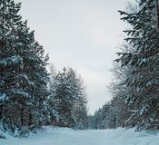 Pinos nevados en el bosque ural del invierno - camino vacío en la puesta del sol, vertical Foto de archivo libre de regalías
