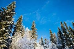 Pinos y abedules nevados con el cielo azul en el fondo Foto de archivo