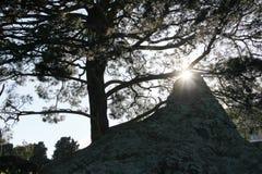 Pinos y el sol Foto de archivo libre de regalías