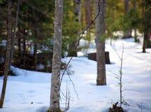 Pinos y nieve durante árboles que nievan del invierno Imagen de archivo libre de regalías