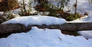 Pinos y nieve durante árboles que nievan del invierno Fotografía de archivo