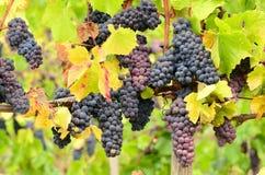 Pinot Grapes Royalty Free Stock Photo