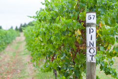 Pinot Grapevine. Pinot grapes in late harvest at a winery in Yarra Valley, Australia Royalty Free Stock Photography