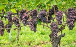 Pinot Grigio druvavariation Pinot Grigio är en variation för druva för vitt vin, som göras från druvor med gråaktigt vitt rött, o arkivfoto