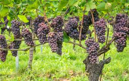 Pinot Grigio grape variety. Pinot Grigio is a white wine grape variety that is made from grapes with grayish, white red, and or pu stock photo