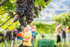 Pinot Grigio grape variety. Ripe bunch of grapes during harvest at the vineyard of South Tyrol/Trentino Alto Adige, northern Italy.  royalty free stock image