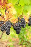 Pinot Gris Fall Stock Photography