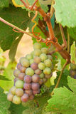 Pinot Gris Royalty Free Stock Photography