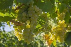 Pinot Gris Grapes i vingården Okanagan Kelowna British Columbia Kanada Arkivbilder
