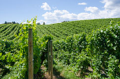 Pinot gris vineyard in the Okanagan. Valley in British Columbia in early summer Royalty Free Stock Photos