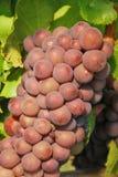 Pinot Gris Stock Photo