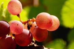 Pinot- Grisabschluß Stockfoto