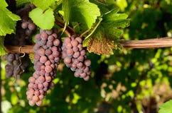 Pinot- Grisrebe Stockbild