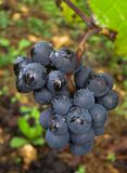 Pinot negro Foto de archivo libre de regalías