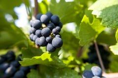 Pinot nero nel raccolto di autunno Immagine Stock