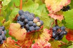 Pinot Noir Stock Image
