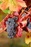 Pinot Noir. Pom grapes waiting to be picked at the Henry Estate Winery located in Umpqua Oregon just NW from Roseburg in the Umpqua Valley Wine Region Royalty Free Stock Photography