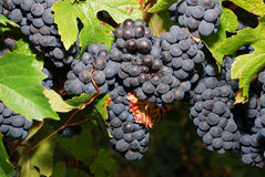 Pinot Noir Royalty Free Stock Photo