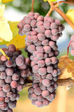 Pinot Noir Bunch. Pinot Noir grapes ripening on the vine in the Umpqua Valley of Southern Oregon Royalty Free Stock Photos