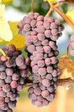 Pinot Noir Bunch Royalty Free Stock Photos