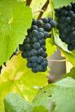 Pinot noir bunch of grapes closeup Royalty Free Stock Photos