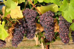 Pinot Noir Bunches. Pinot Noir grapes ripening on the vine in the Umpqua Valley of Southern Oregon Royalty Free Stock Photography