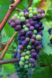 Pinot Noir Grapes. During veraison in the Willamette Valley of Oregon Royalty Free Stock Photo