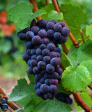Pinot Noir Grapes. Prior to harvest in the Willamette Valley of Oregon Royalty Free Stock Photography