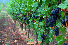 Pinot Noir Grapes Stock Images
