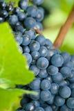 Pinot noir grapes closeup Royalty Free Stock Image