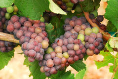 Pinot Noir Stock Photography