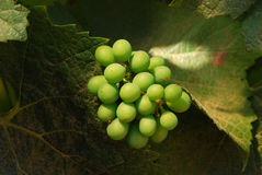 Pinot Noir. Grapes in the Henry's Winery vineyard in the Umpqua Valley near Roseburg Oregon Royalty Free Stock Image