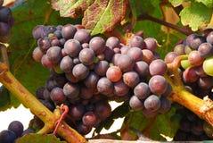 Pinot Noir. Grapes in the Henry's Winery vineyard in the Umpqua Valley near Roseburg Oregon Stock Photo