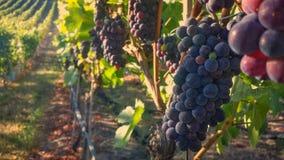 Pinot Noir. Grapes Maturing on the Vine Stock Photo