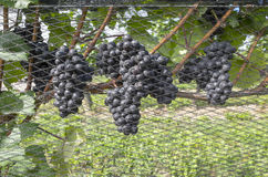 Pinot Noir Grapes Ready to be Picked #1 Stock Image