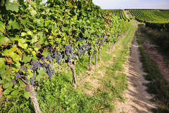 Pinot Noir Grapes in Rheinhessen, Germany Stock Image