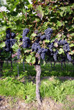 Pinot Noir Grapes in Rheinhessen, Germany Stock Photos