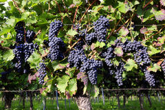 Pinot Noir Grapes in Rheinhessen, Germany. Selective focus Royalty Free Stock Images