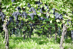 Pinot Noir Grapes in Rheinhessen, Germany Stock Images