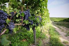 Pinot Noir Grapes in Rheinhessen, Germany. Selective focus on grapes middle left Royalty Free Stock Photo