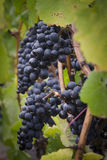 Pinot noir grapes vignette. A cluster of Pinot noir grapes ready for havest seen through a vignette of leaves Stock Image