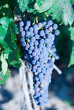 Pinot Noir grapes on the vine Royalty Free Stock Images