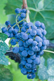 Pinot Noir grapes on the vine. Ripe Pinot Noir grapes ready for harvest Stock Photography